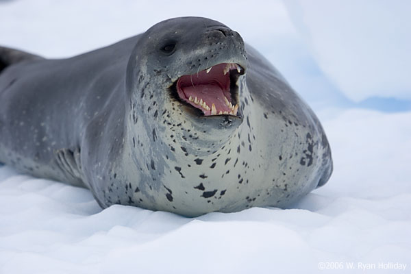 Photographer and Leopard Seal Come Face-to-Face ...